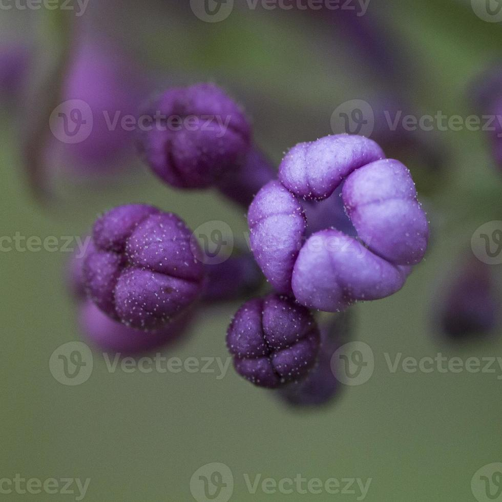 capullos de color lila púrpura. foto