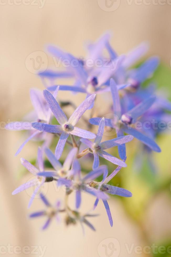 flora morada foto