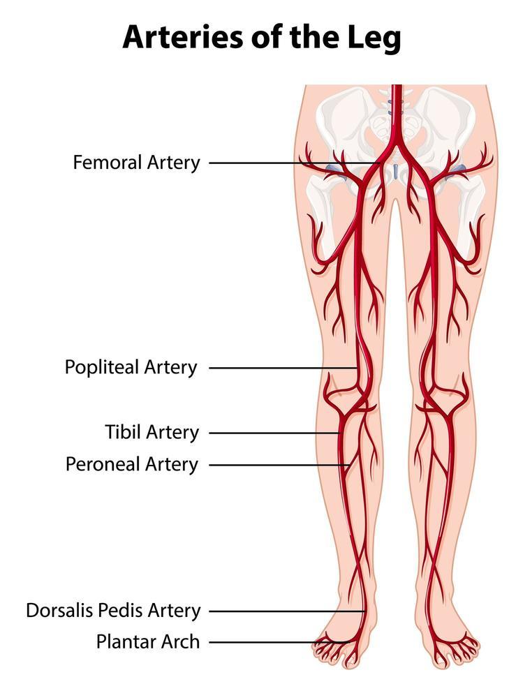 arterias y venas de la pierna diagrama educativo vector