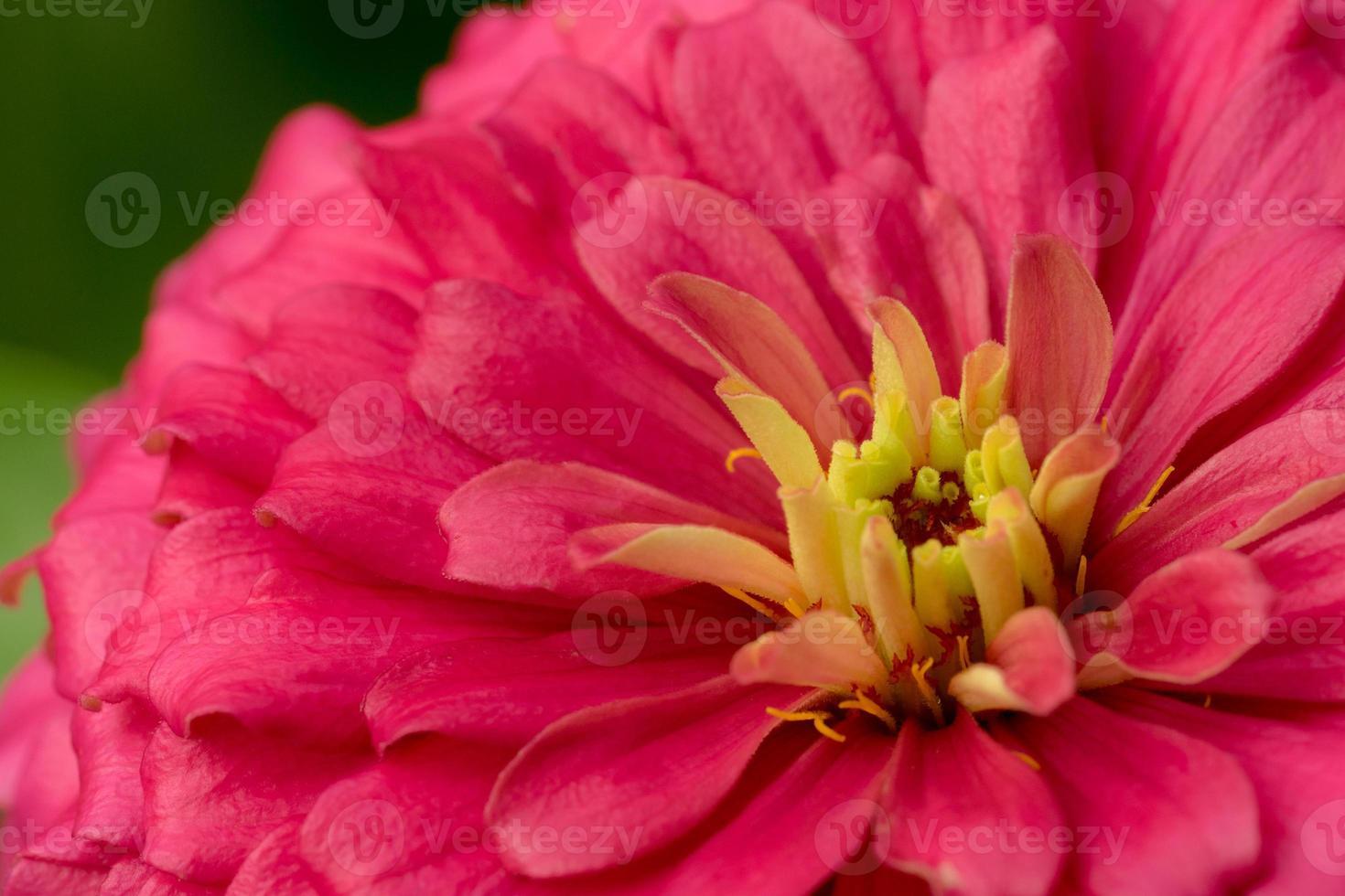 flor de zinnia rosa foto