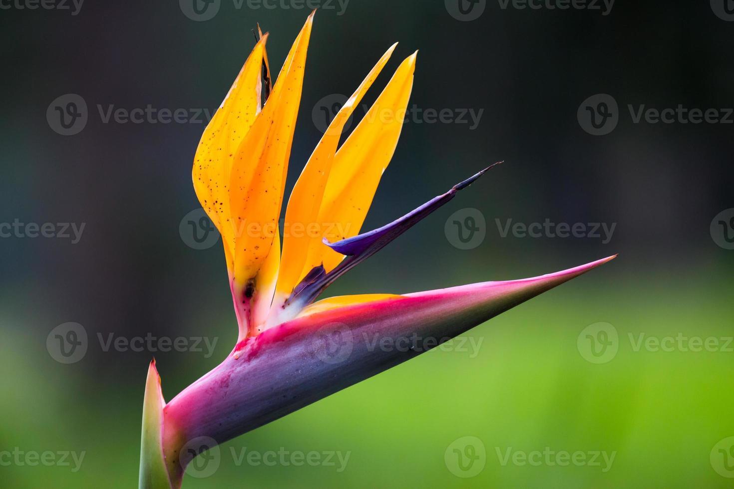 flor de strelitzia foto