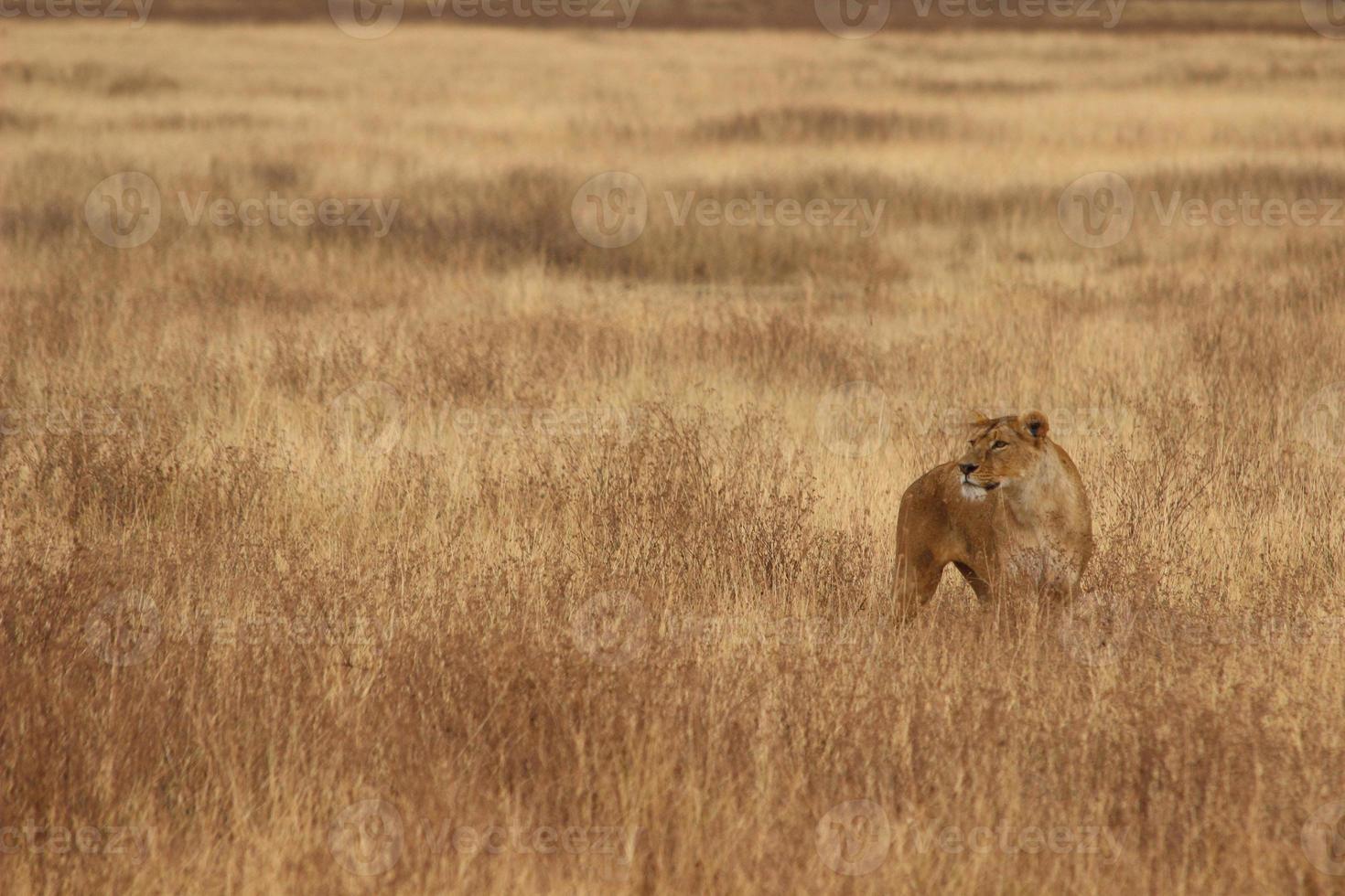 león en un campo foto