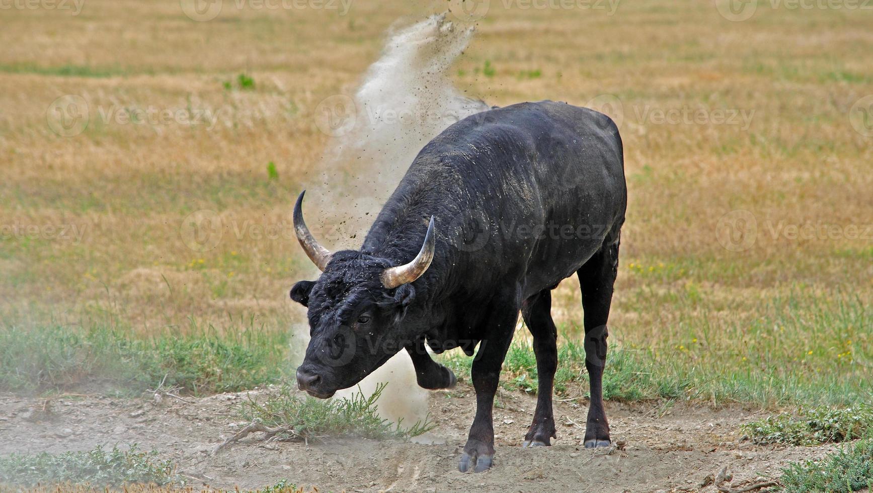 toro de camargue enojado, francia foto