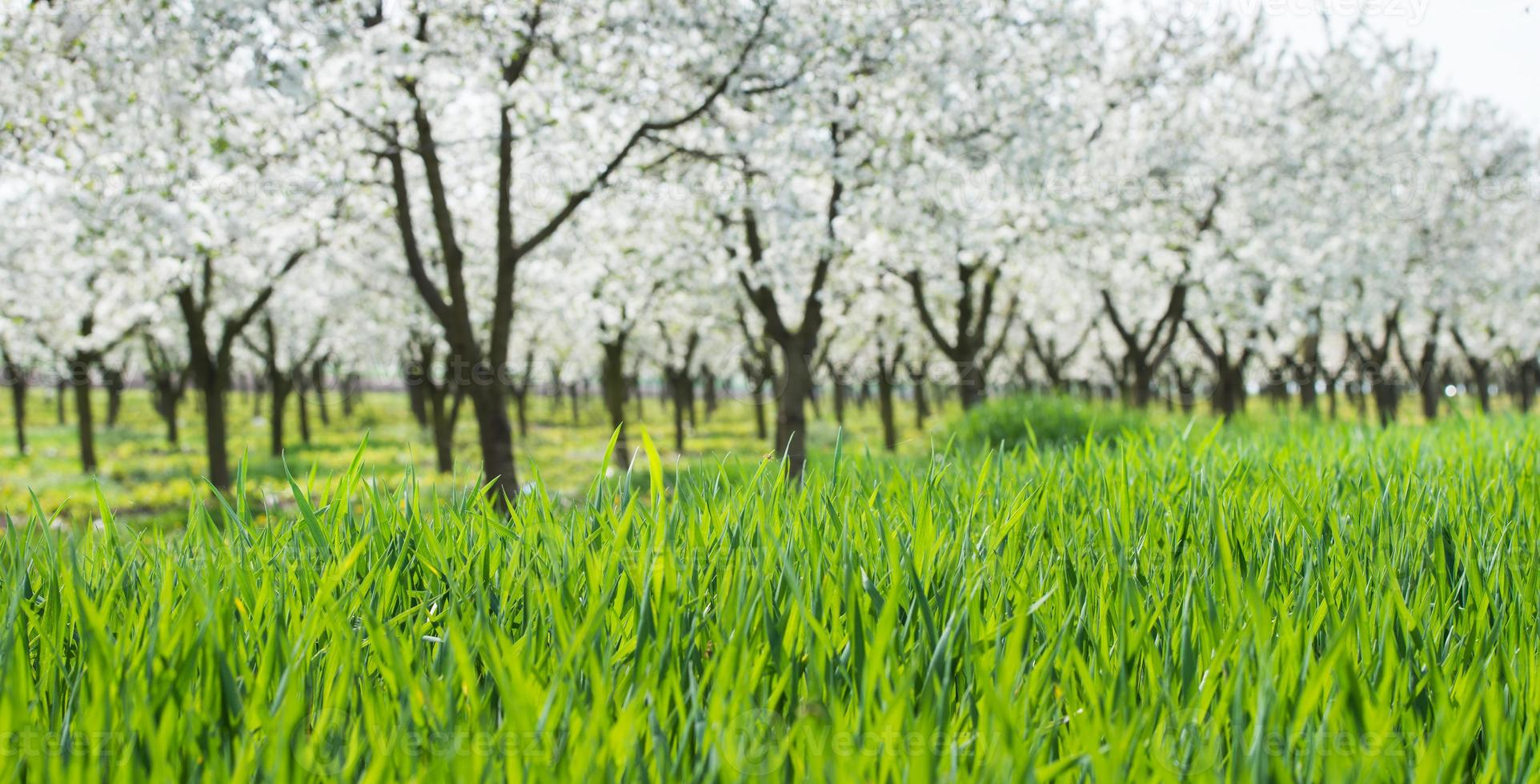 blooming cherry orchard photo