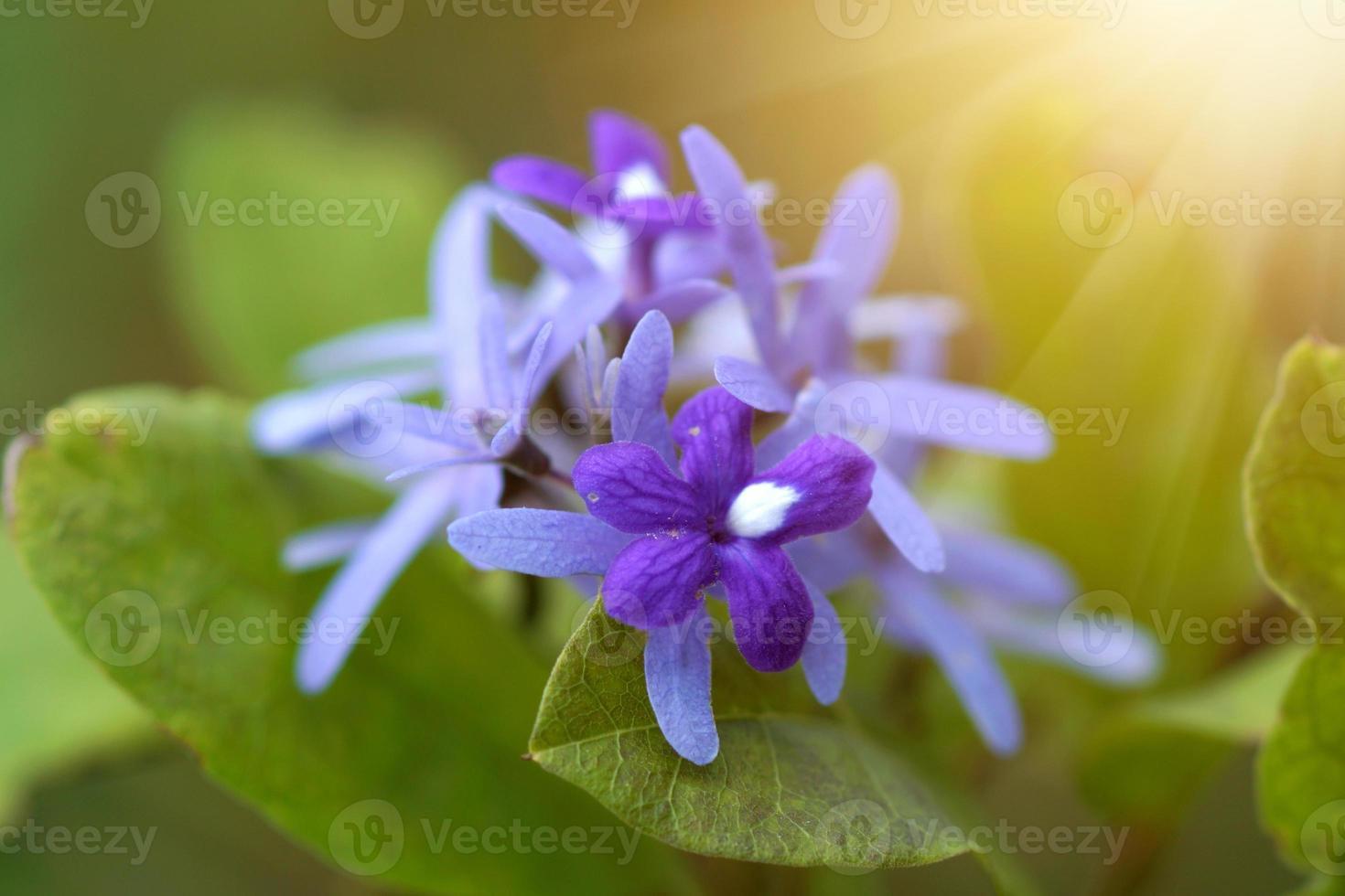 Purple Wreath, Sanpaper Vine photo
