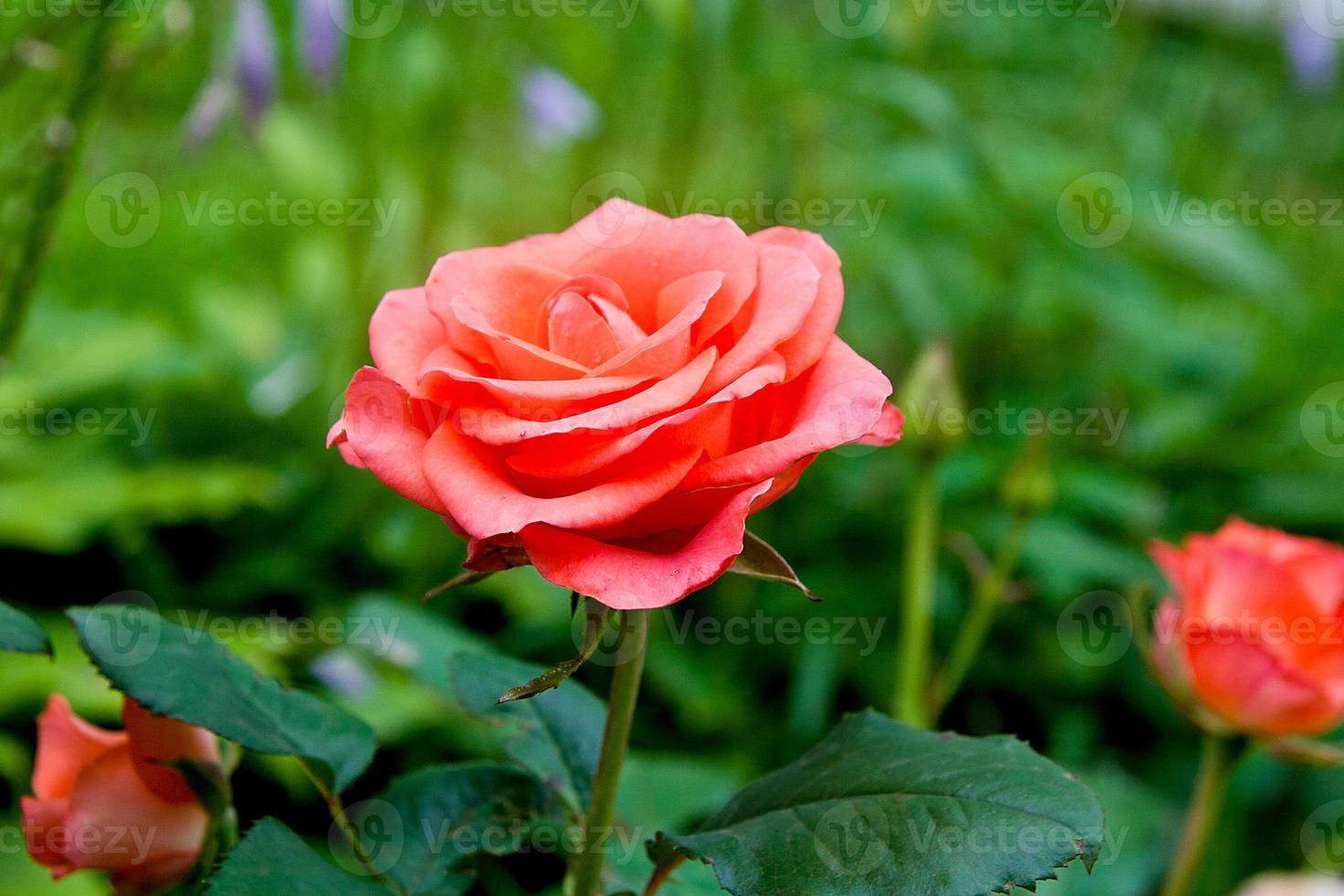 Pink rose in the garden photo