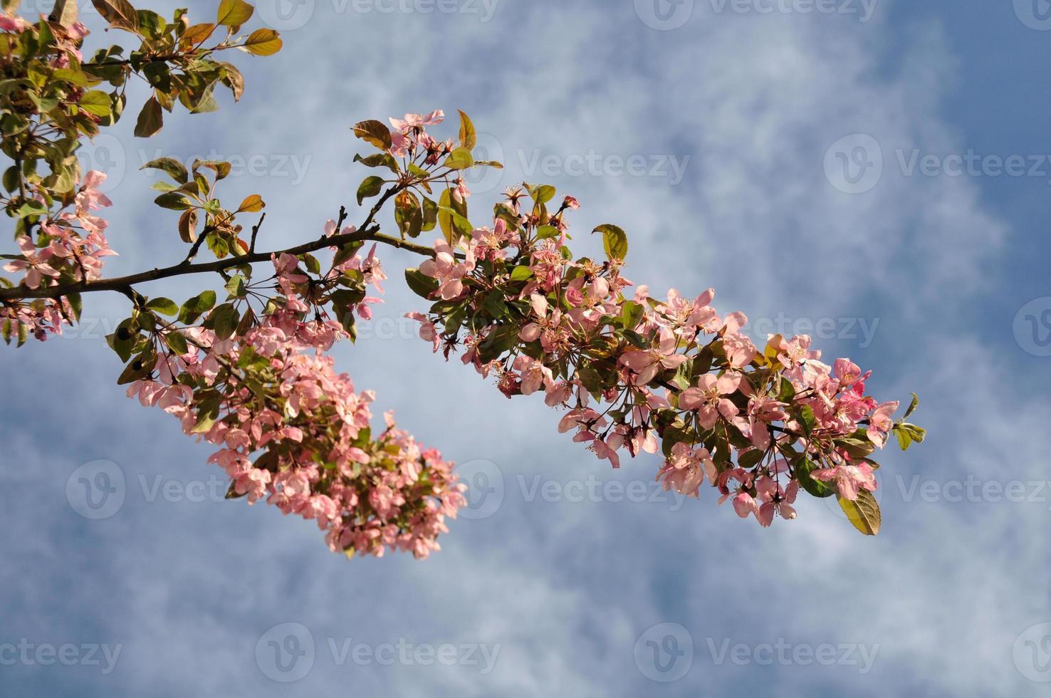 rama de manzano silvestre foto