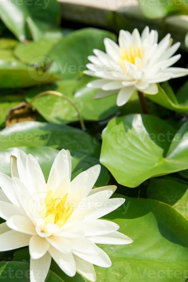 Thai lotus in pond photo