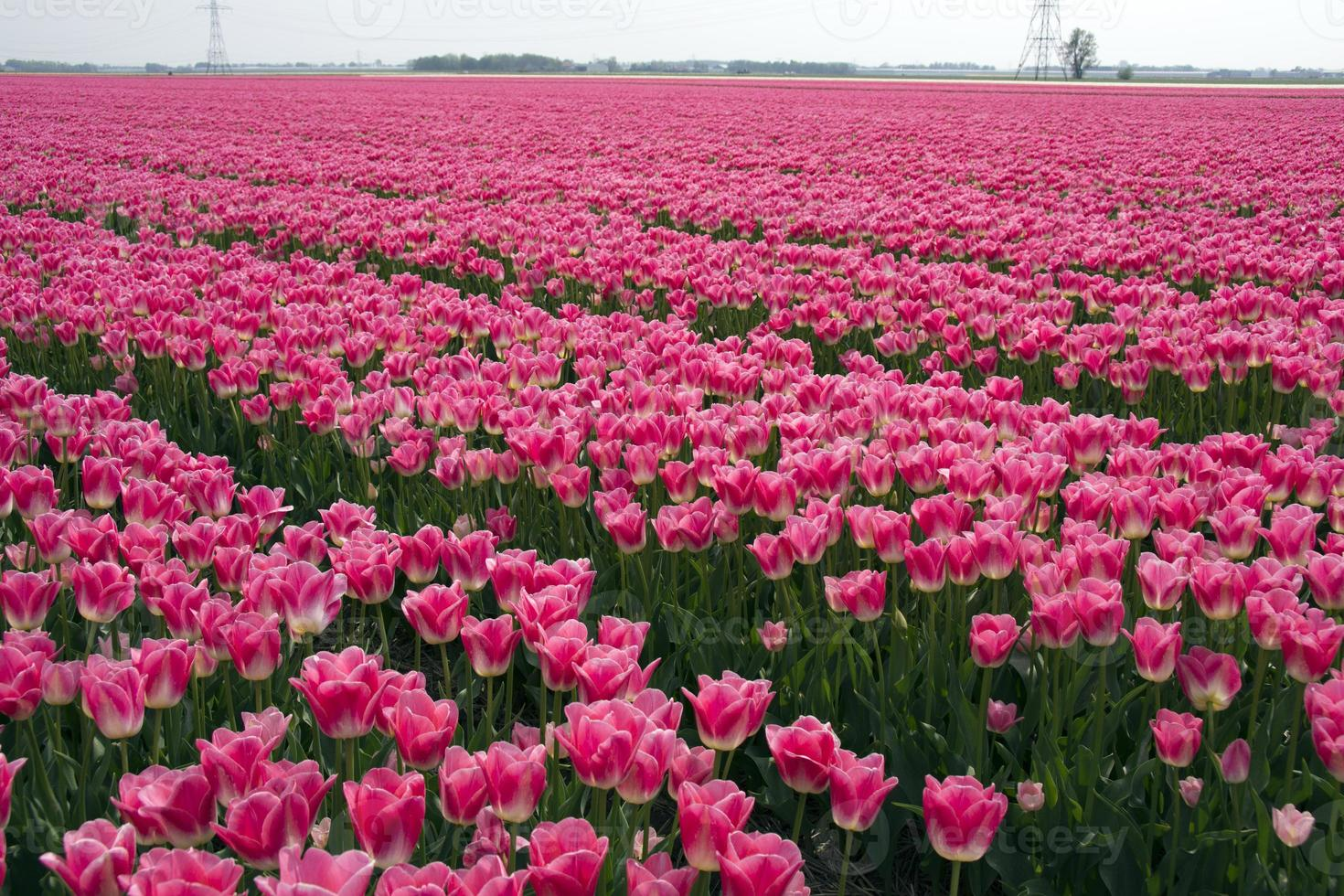 Fields with pink tulips photo