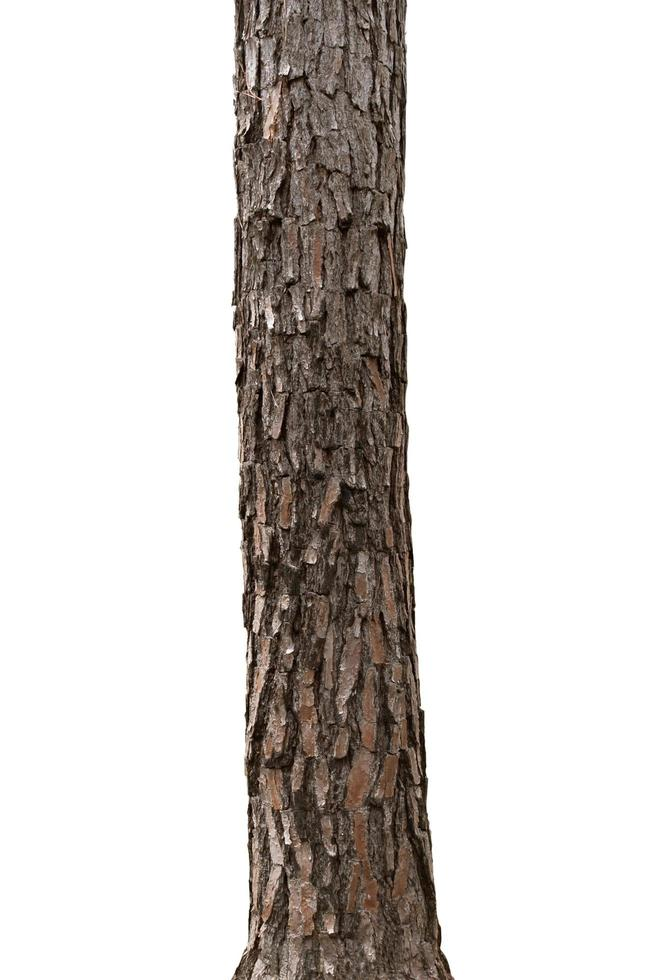 Tropical tree trunk isolated on white background photo