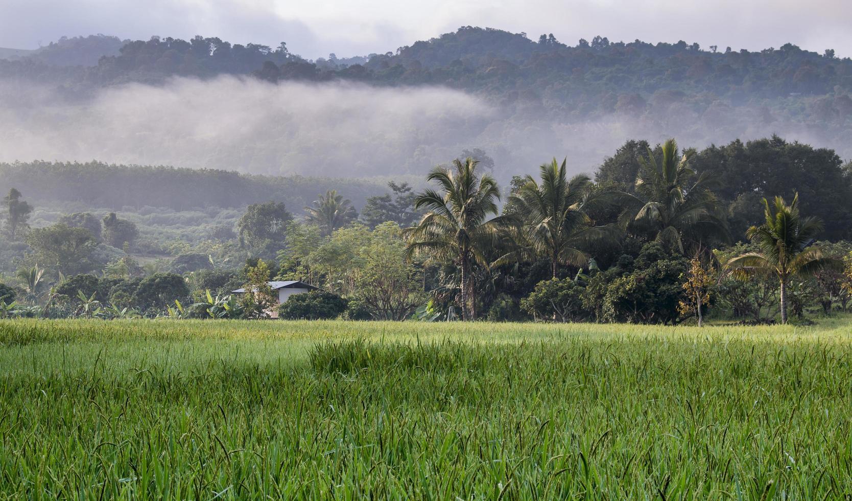 Rice field in autumn photo