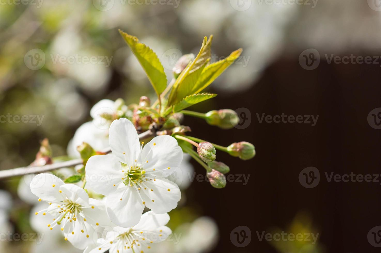 el cerezo floreciente en un día soleado de primavera foto