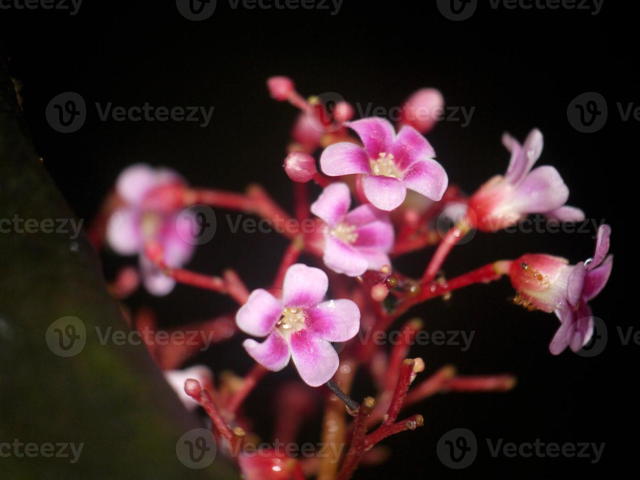 orquídea rosa sobre fondo negro foto