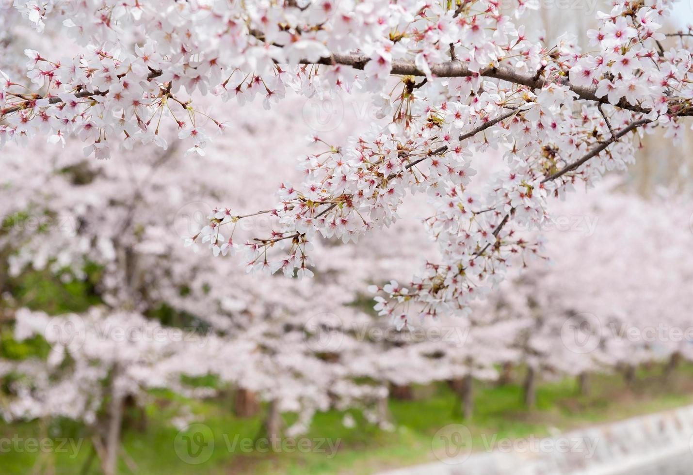 Cherry blossom  in Japan photo