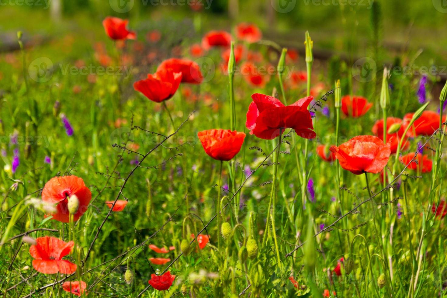red poppy and wild flowers in the meadow photo