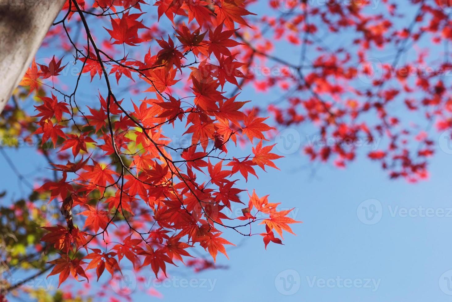 hojas de arce rojo oscuro foto