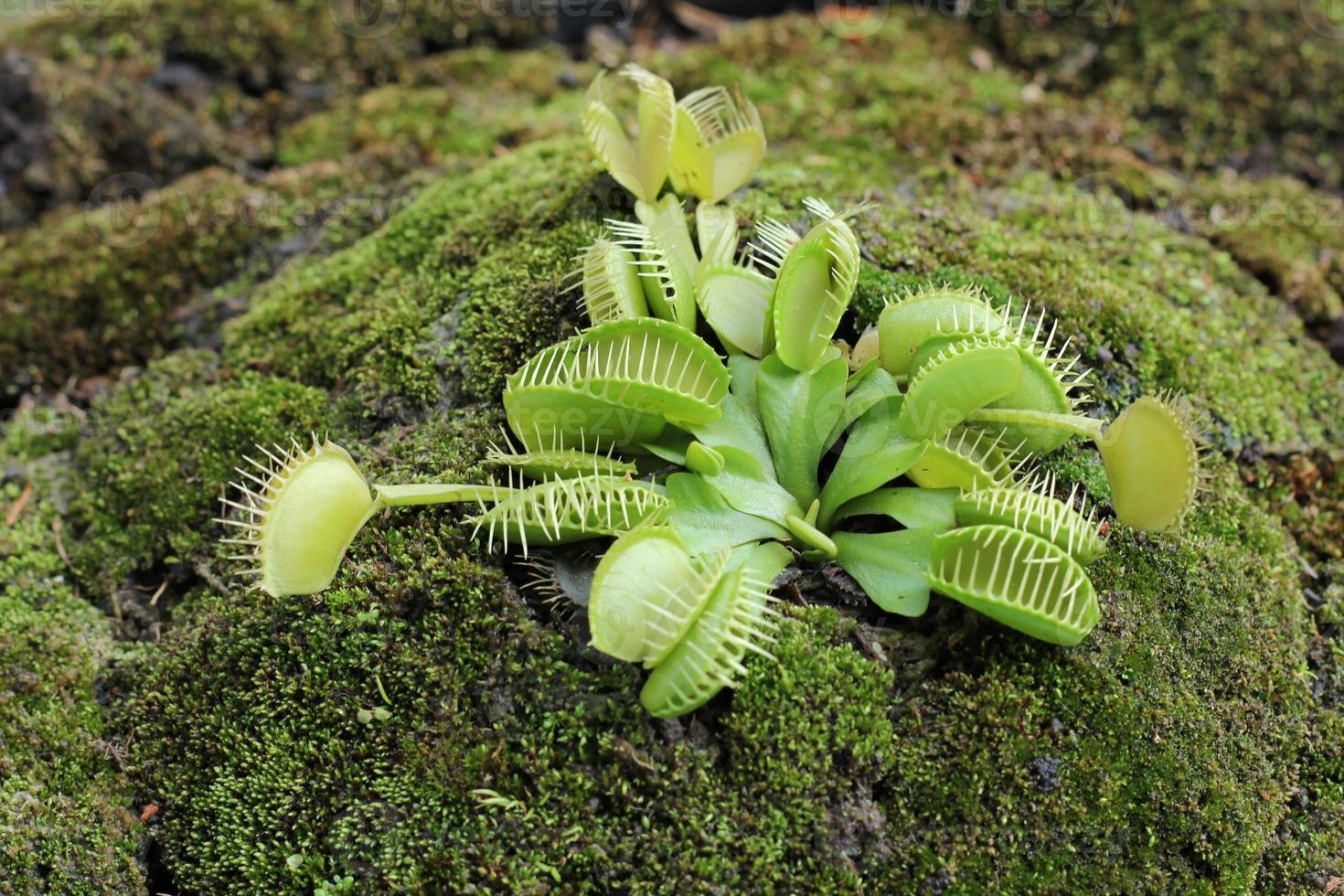 dionaea muscipula Foto de stock