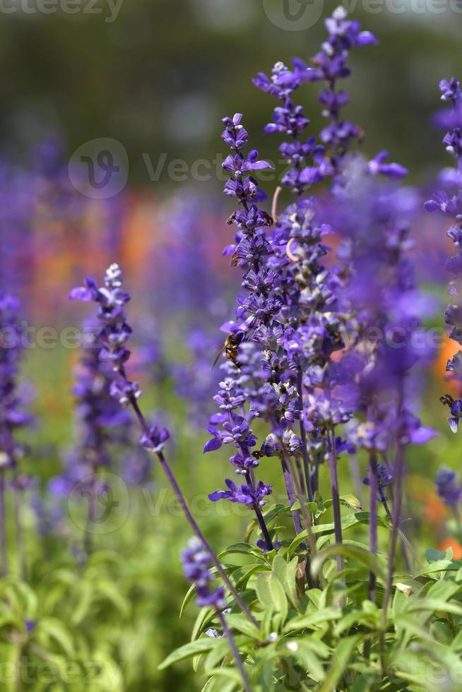 flor de lavanda con abeja foto