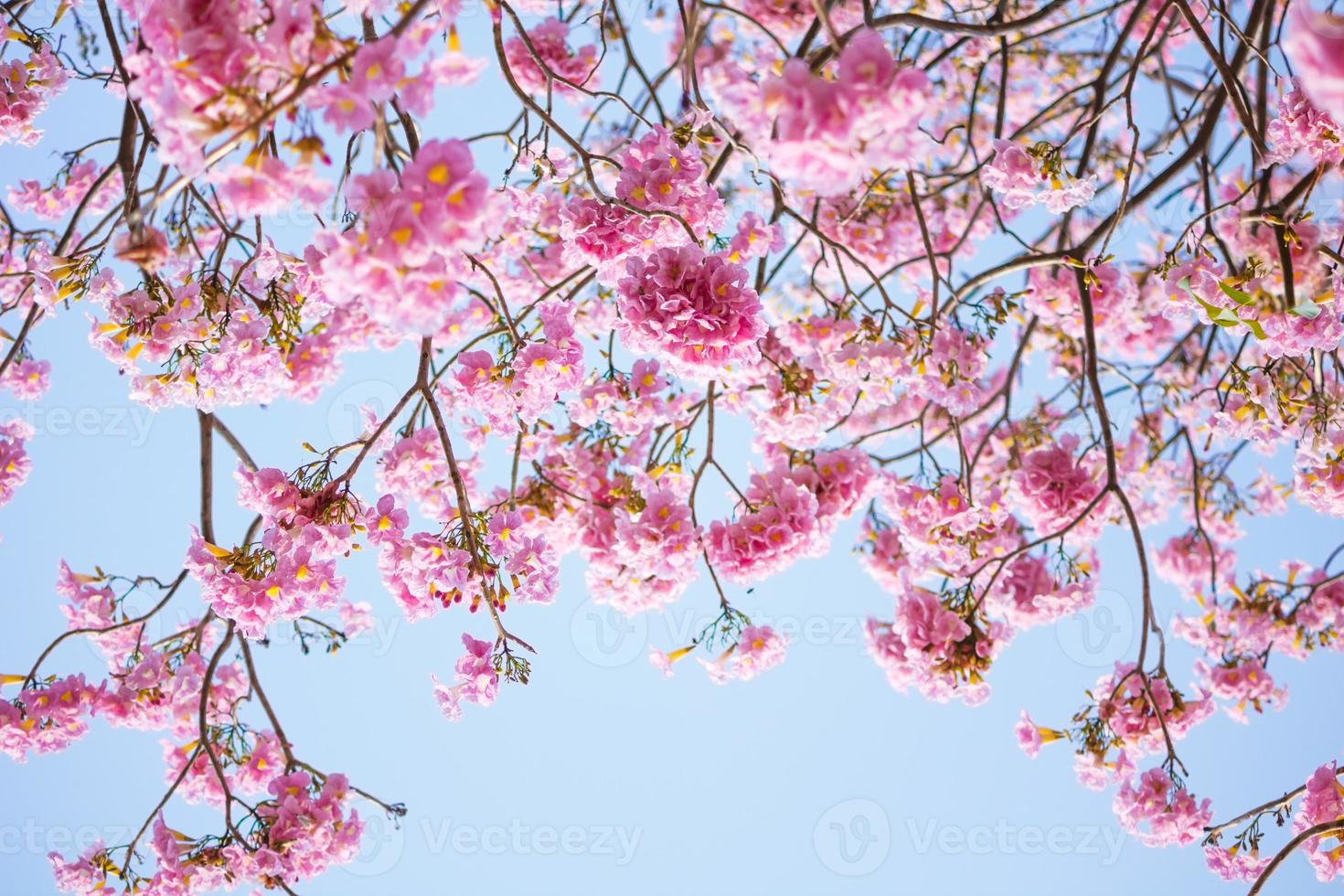 closeup of pink trumpet flower photo
