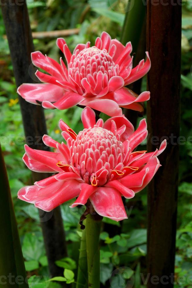 Tropical flower of red torch ginger. photo