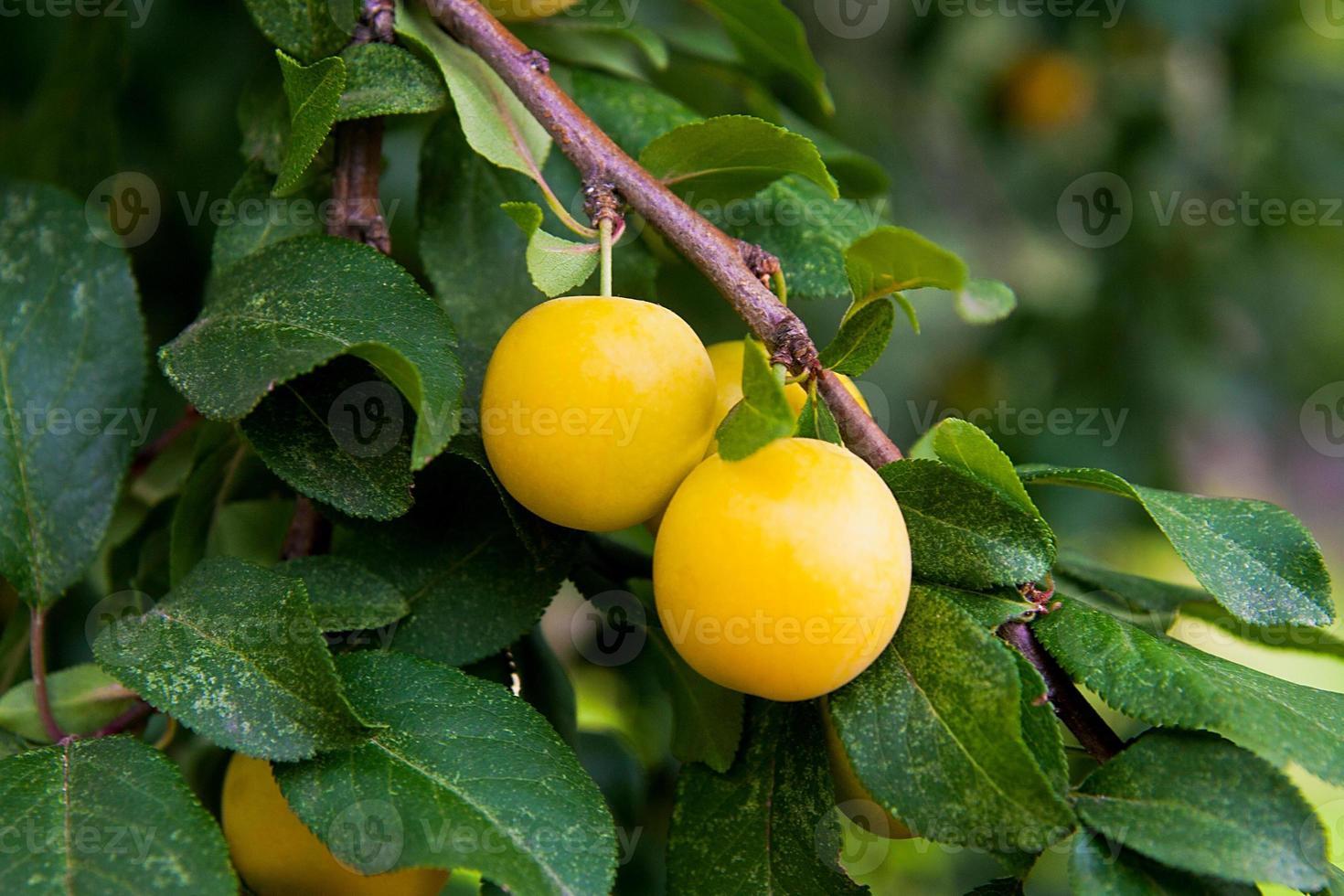 Mature yellow cherry plum. photo