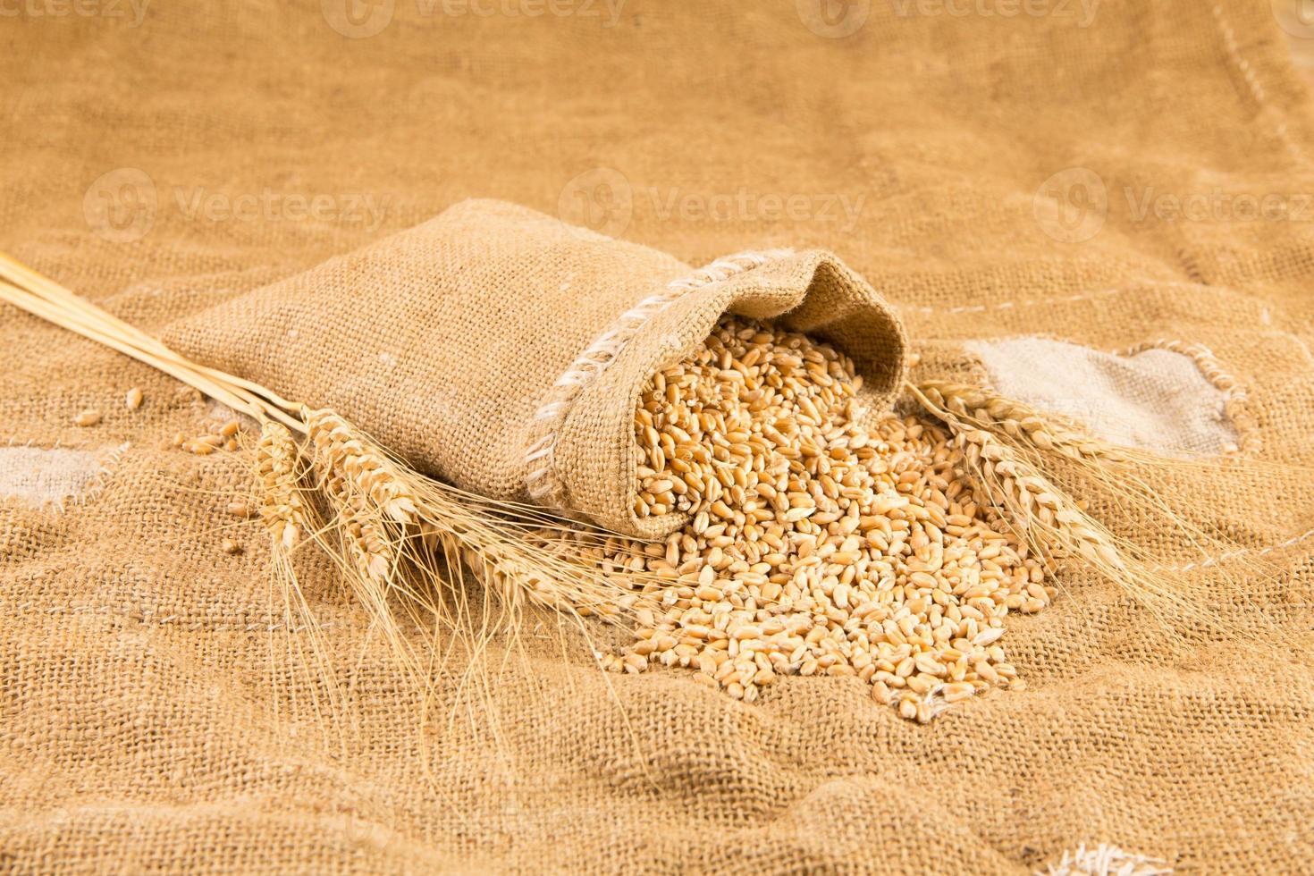 wheat isolated photo