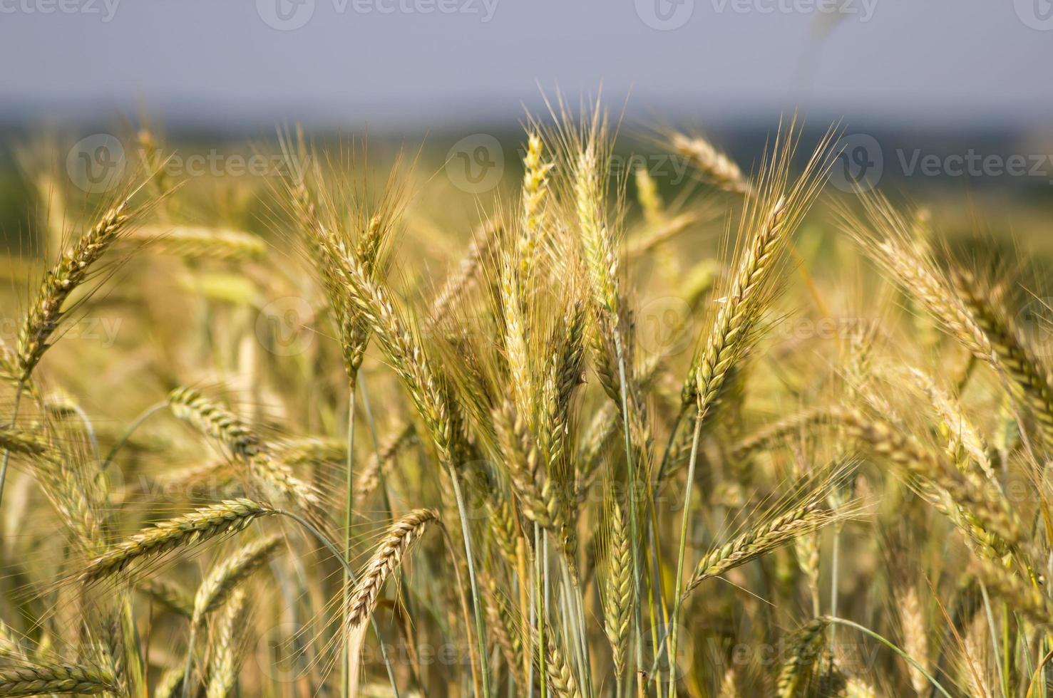 rye field photo