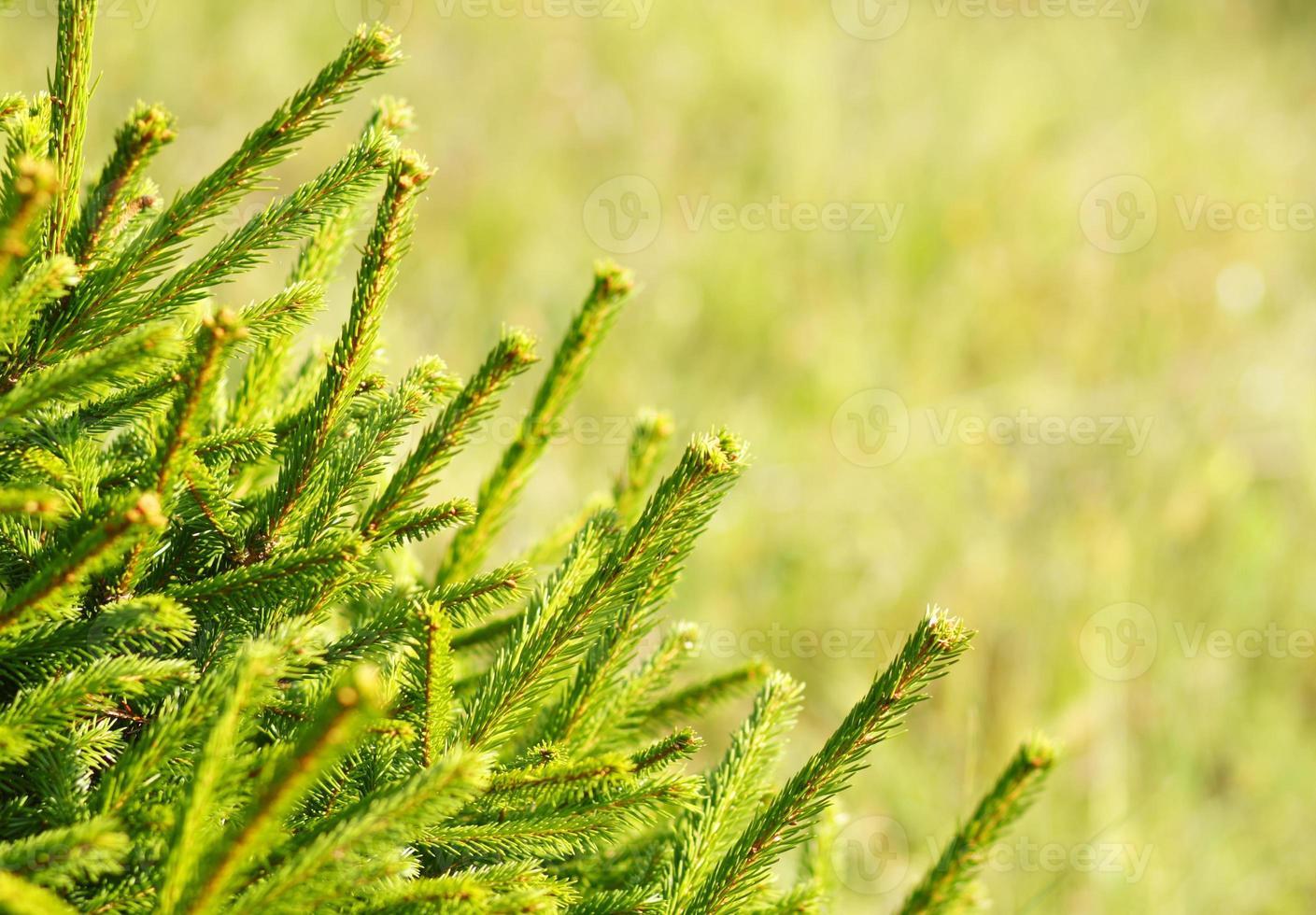 Pine Tree Background photo