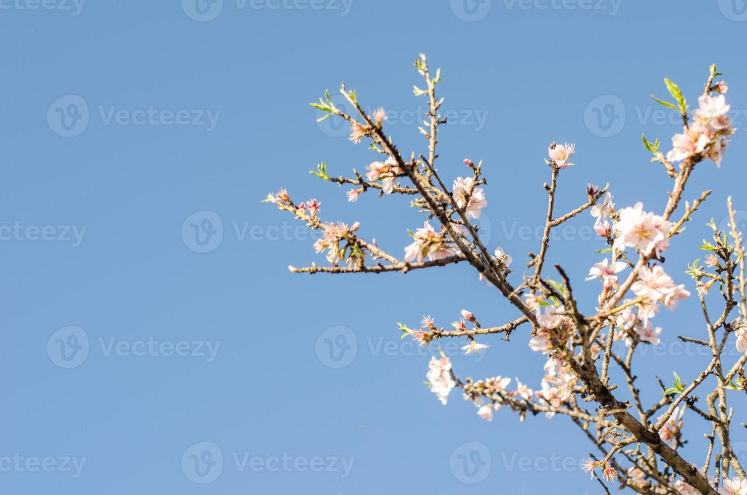 Almond branch in bloom. photo