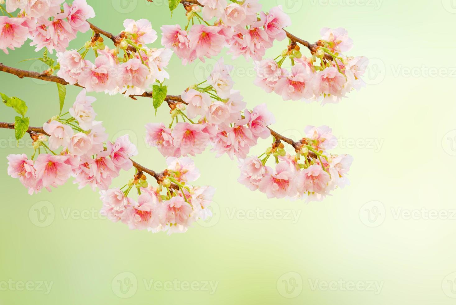 Spring Cherry blossoms (Sakura) in full bloom photo