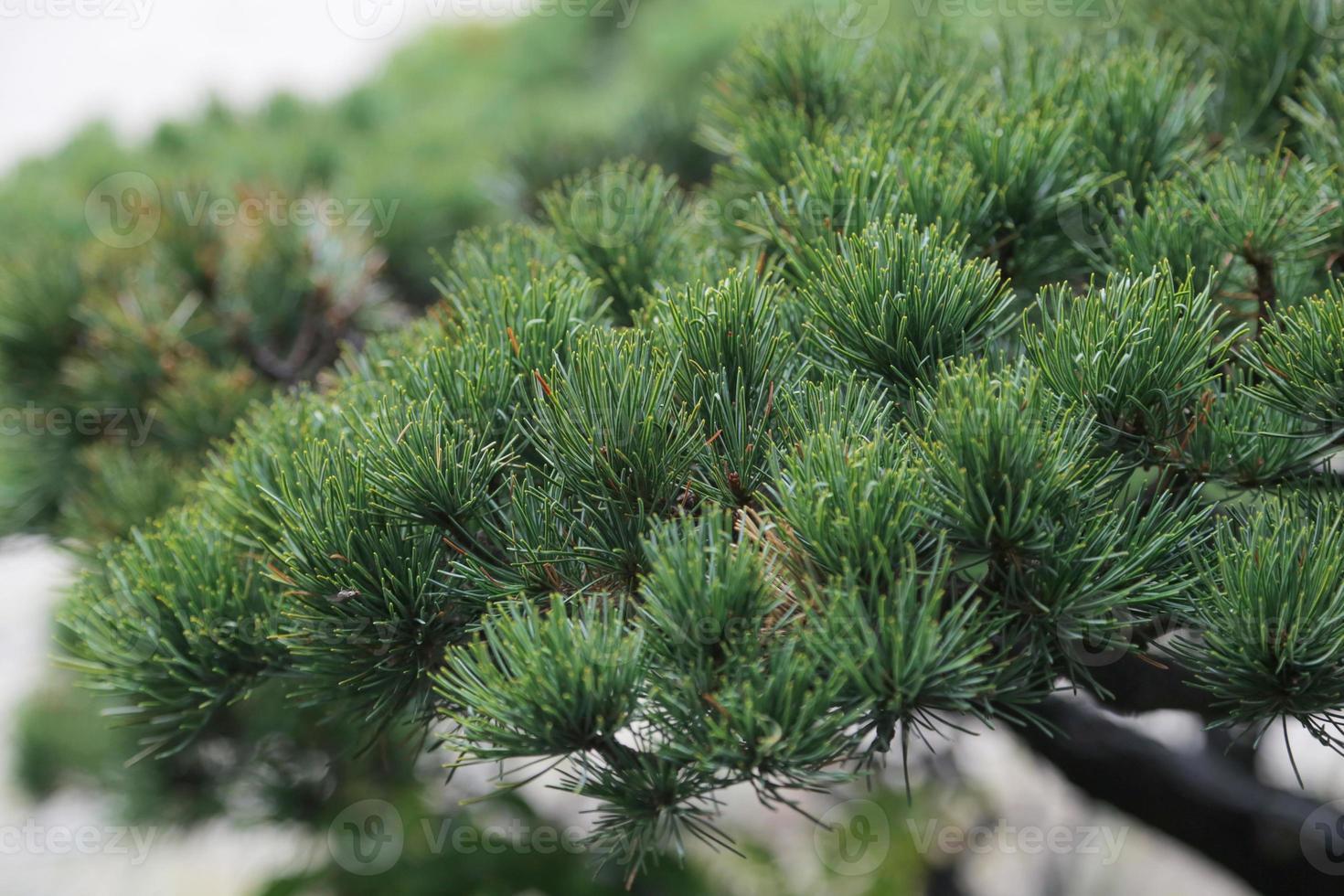 Japanese Pine Tree photo