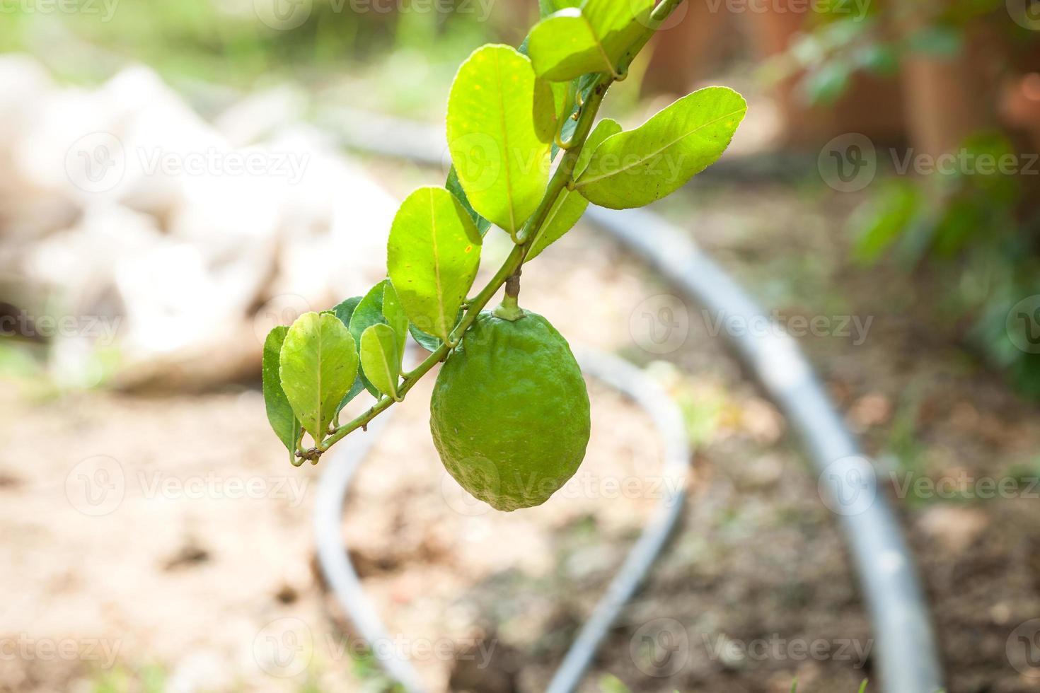lemon tree with fruits photo