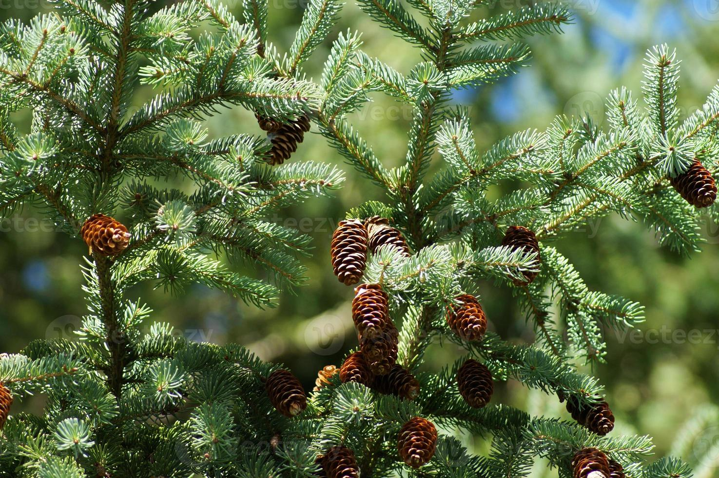 Close up pine branch with cone, outdoor scenery photo