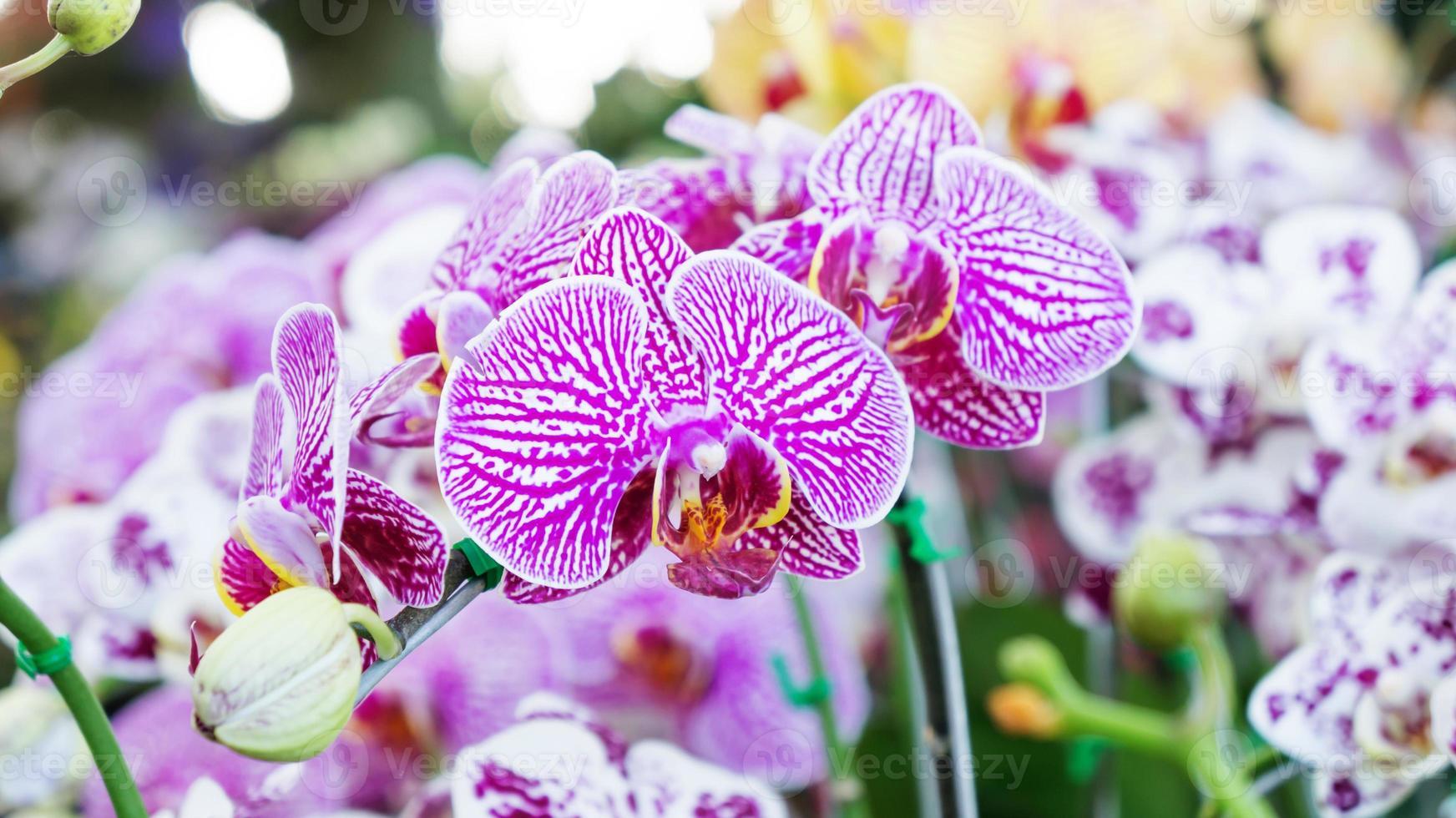orquídea púrpura foto