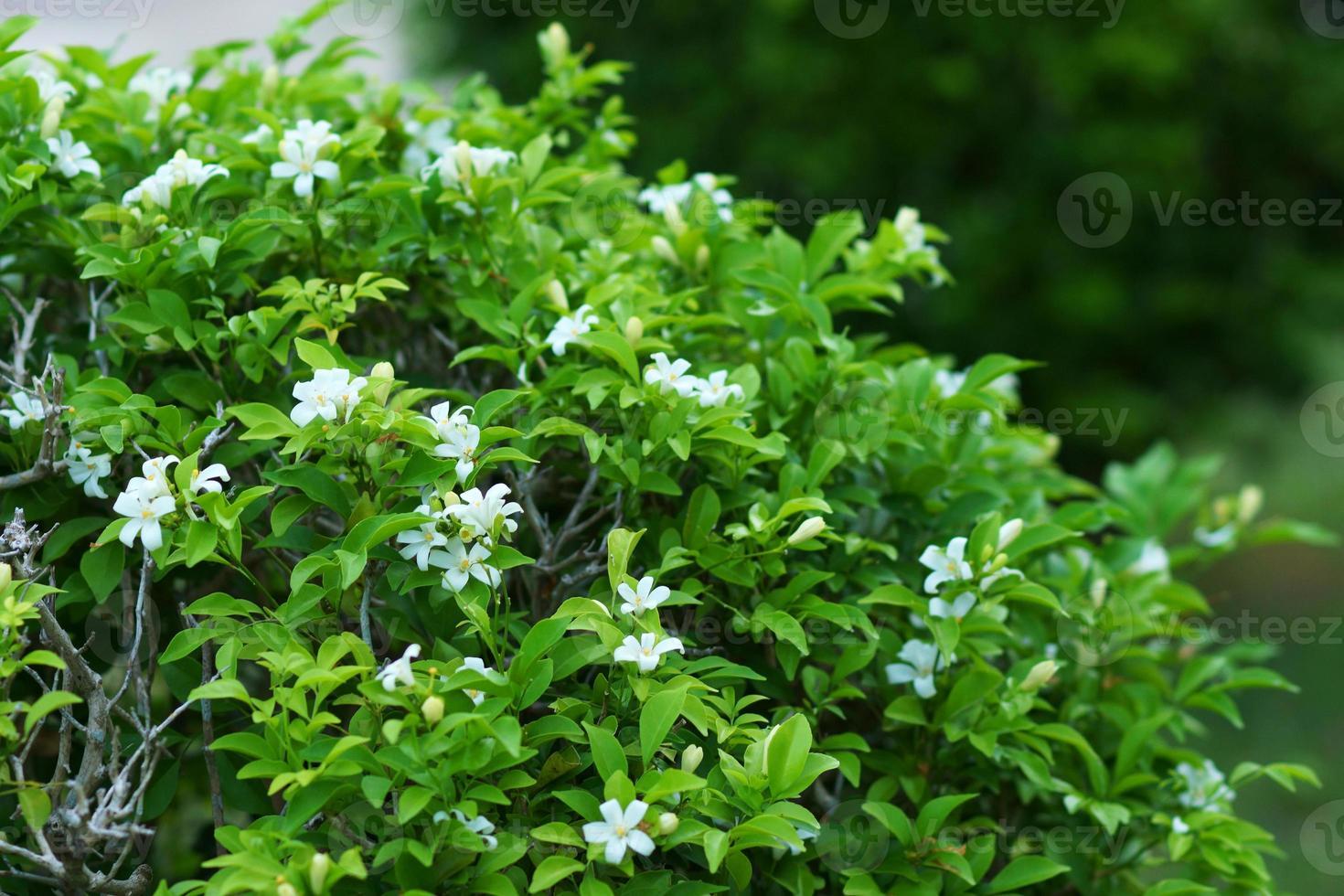 Andaman satinwood flower. photo