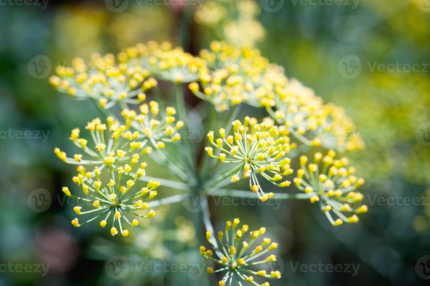 close up fennel in garden at Doi angkhang mountain thailand photo