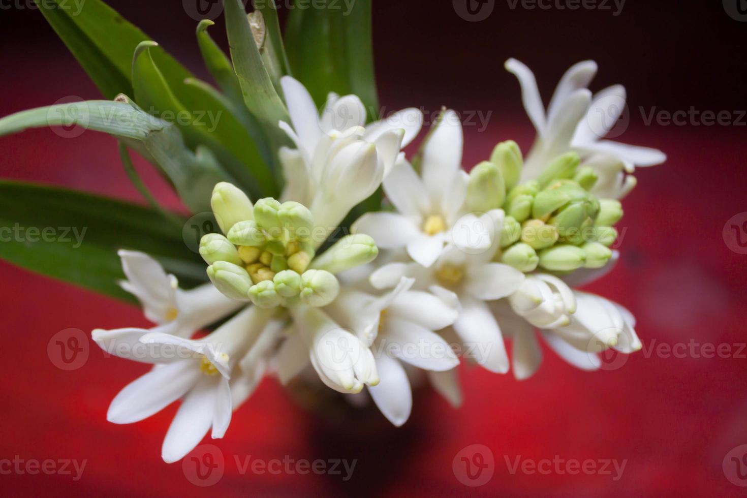 Jasmine petals, long black background. photo