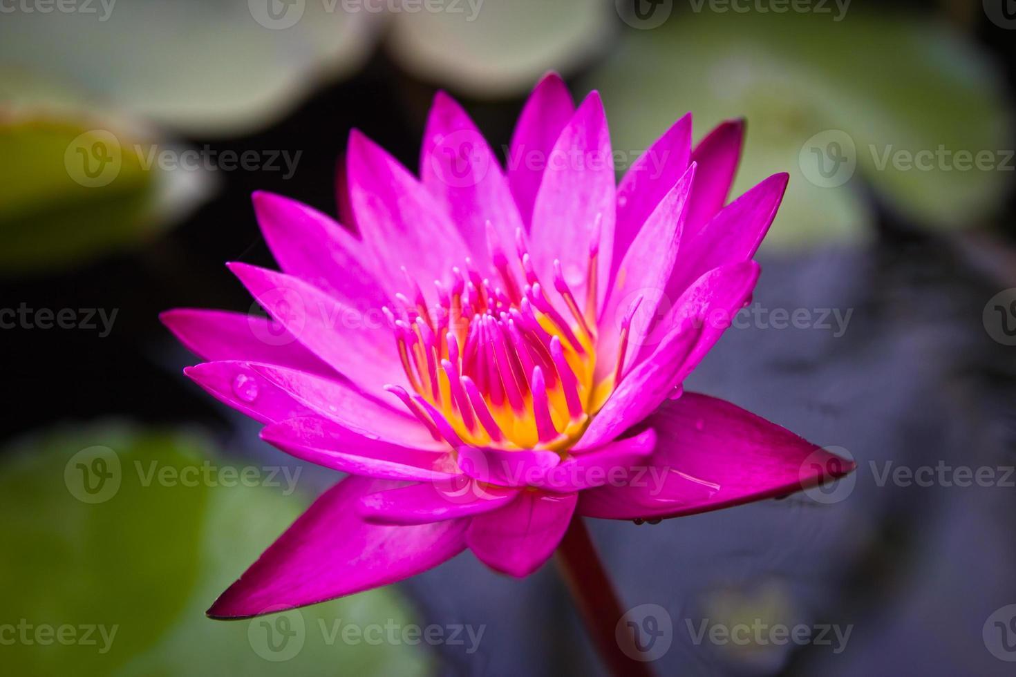 Pink Lotus Flower. photo