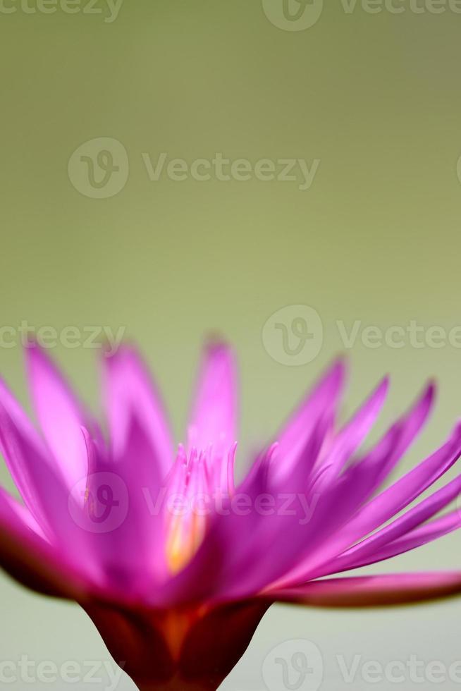 Blossom of purple lotus flower photo