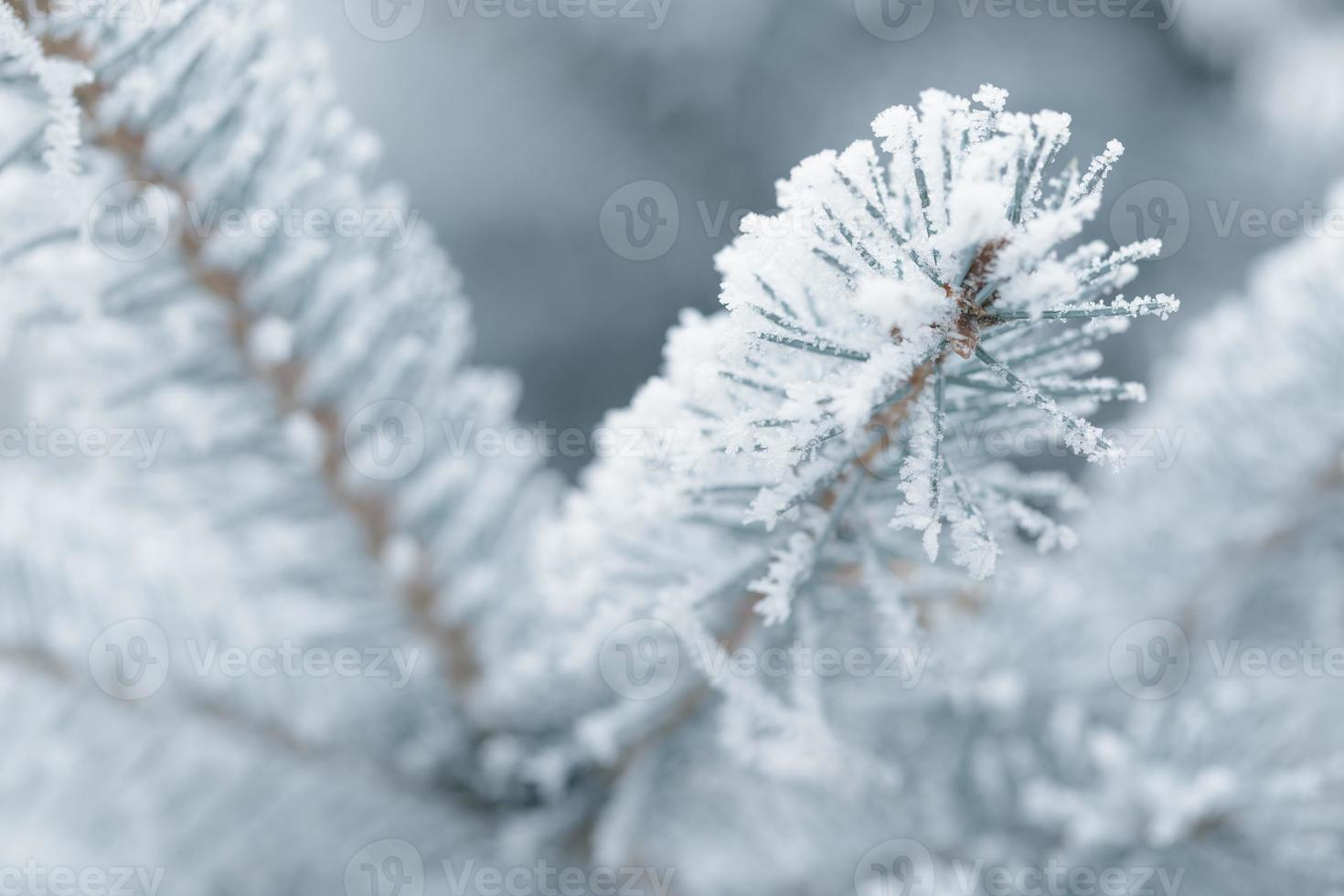 frosty fir twigs in winter covered with rime photo