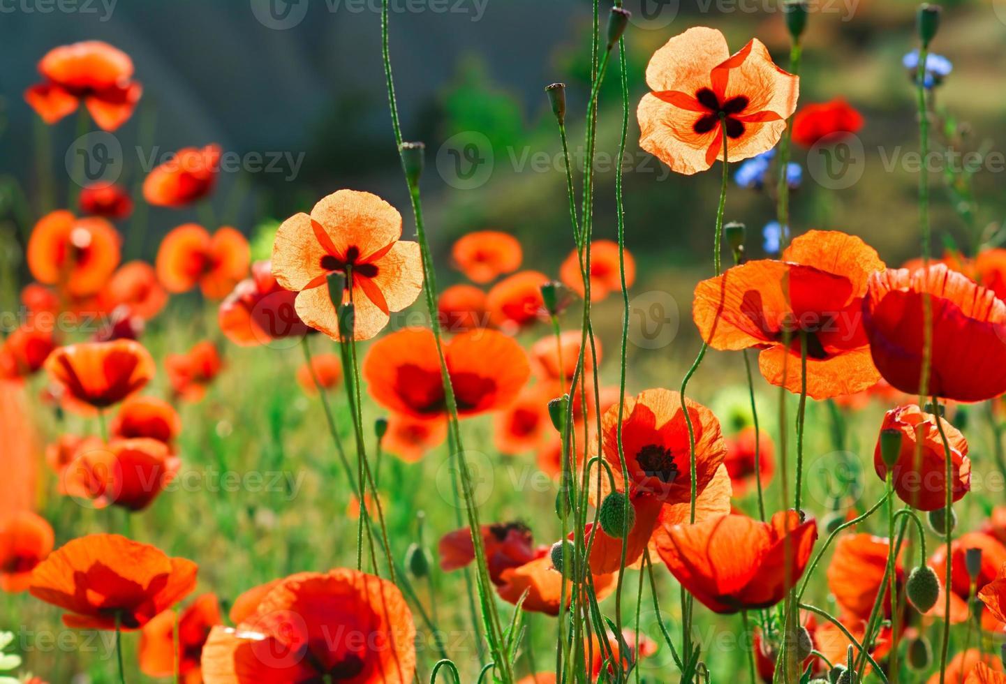 Poppy flowers. Shallow depth of field photo