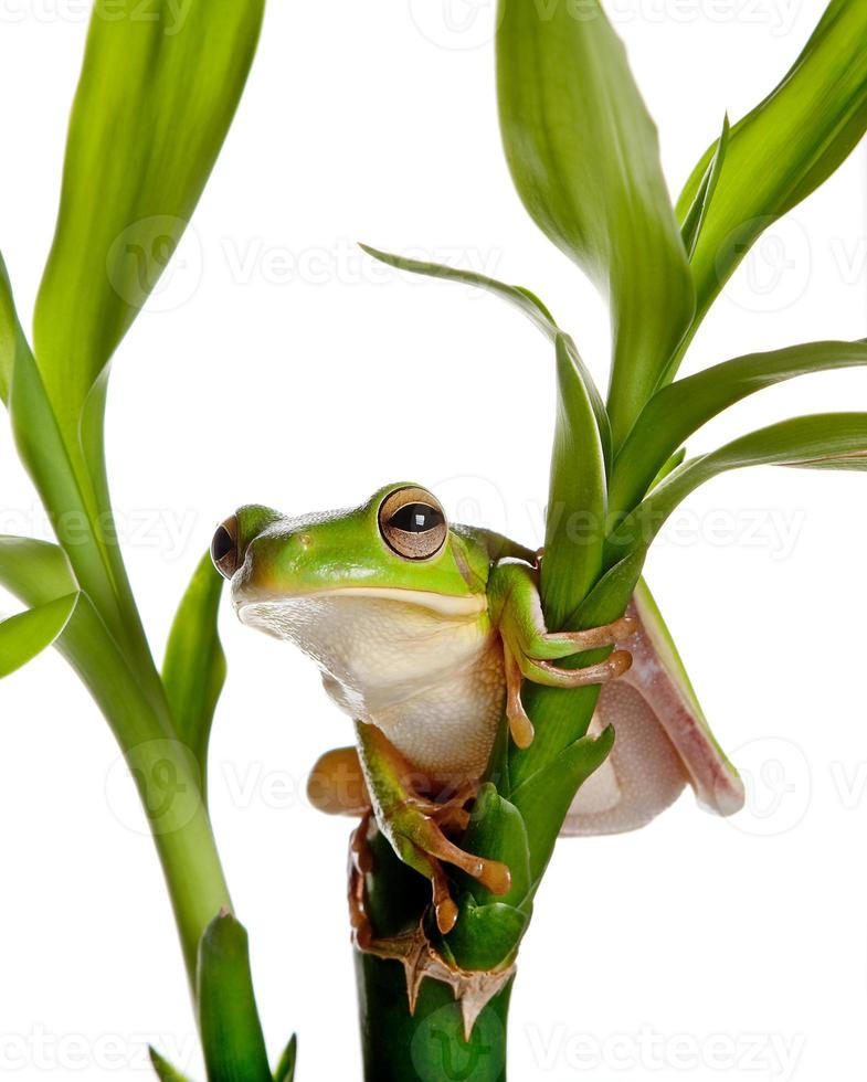 Isolated frog on bamboo photo
