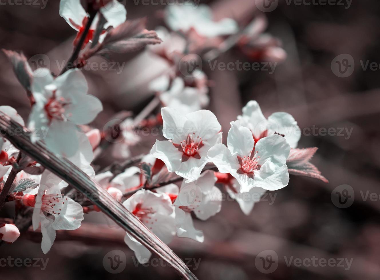 Cherry blossoms. photo