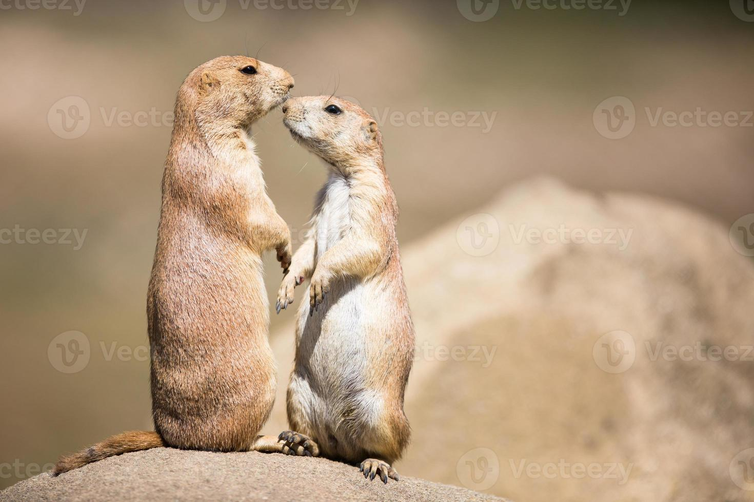 Two prairie dogs in close communication photo