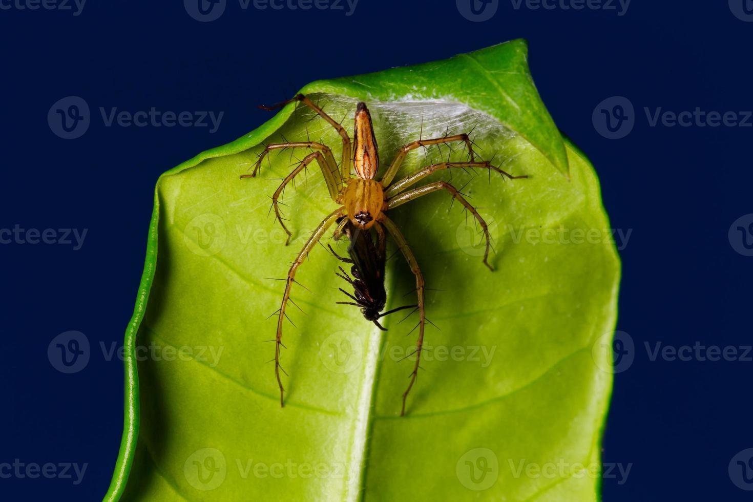 araña comiendo bicho en la hoja foto