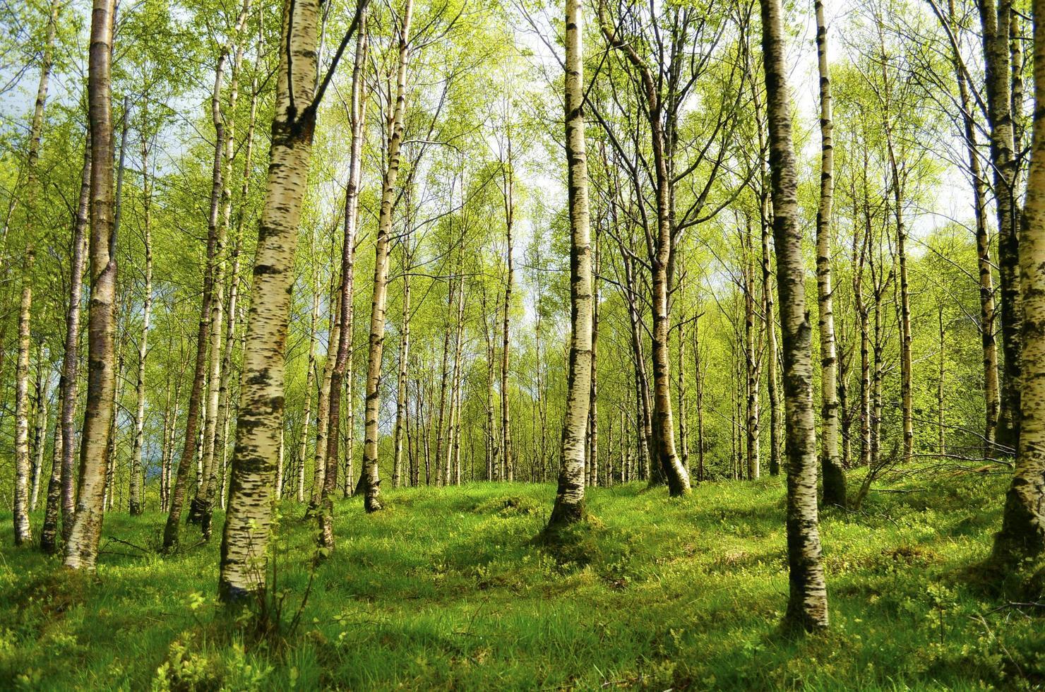 Beautiful birch forest photo