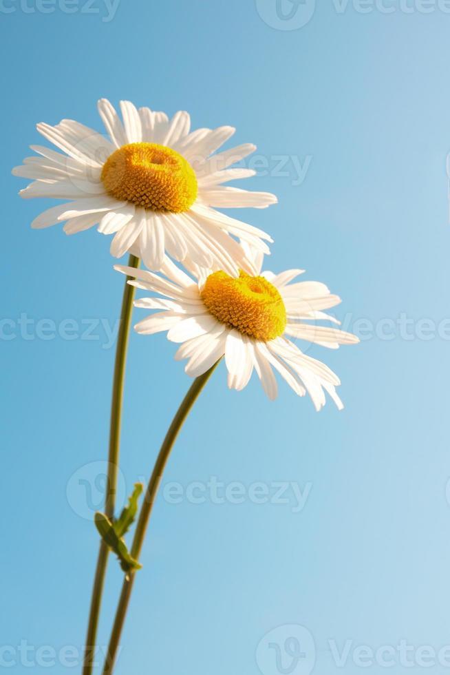 Daisies over blue sky photo