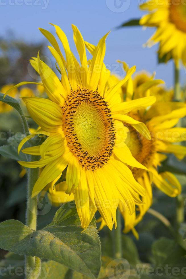 Sun flower against blue sky photo
