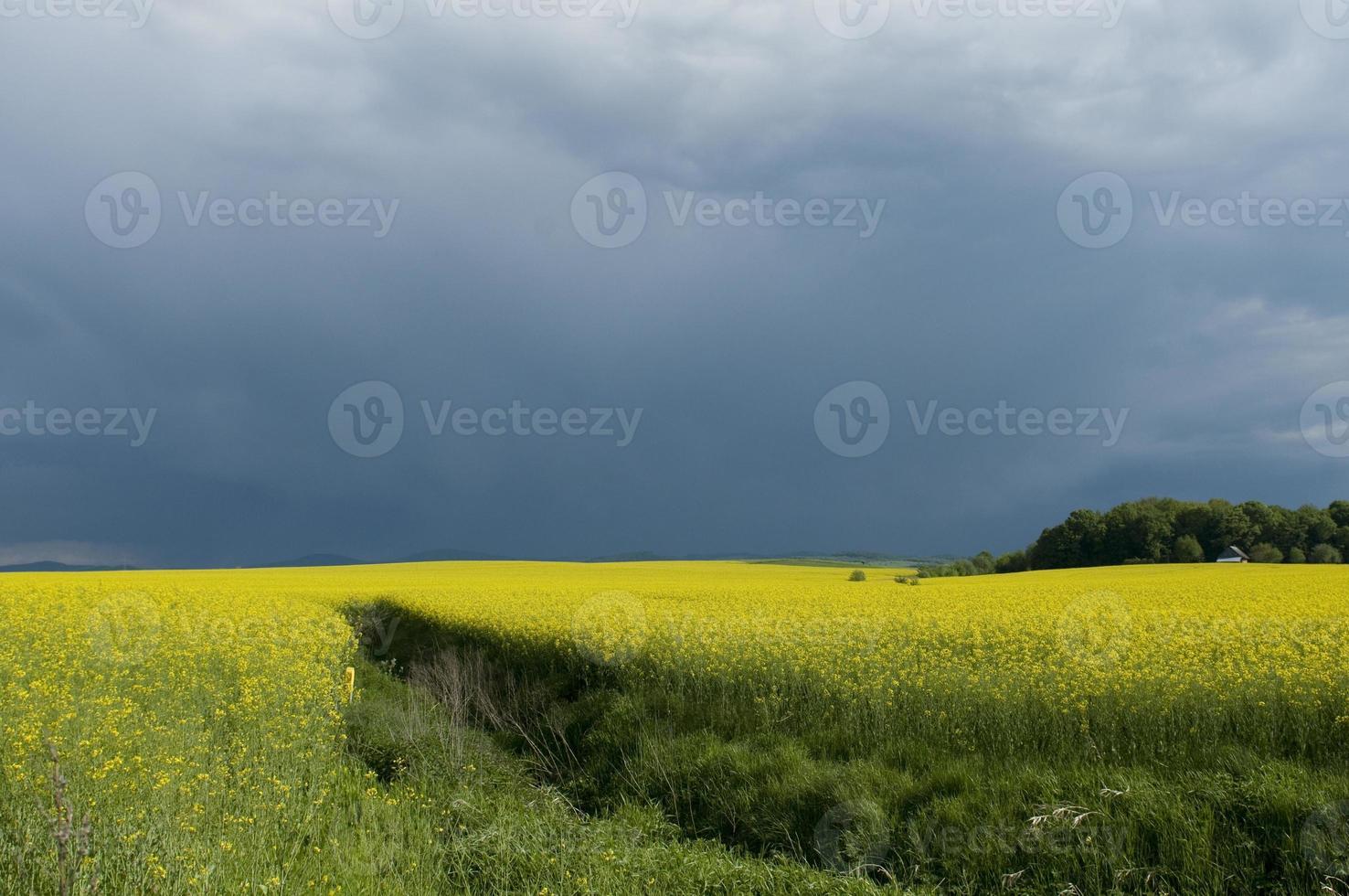 campo de colza contra el cielo tormentoso foto