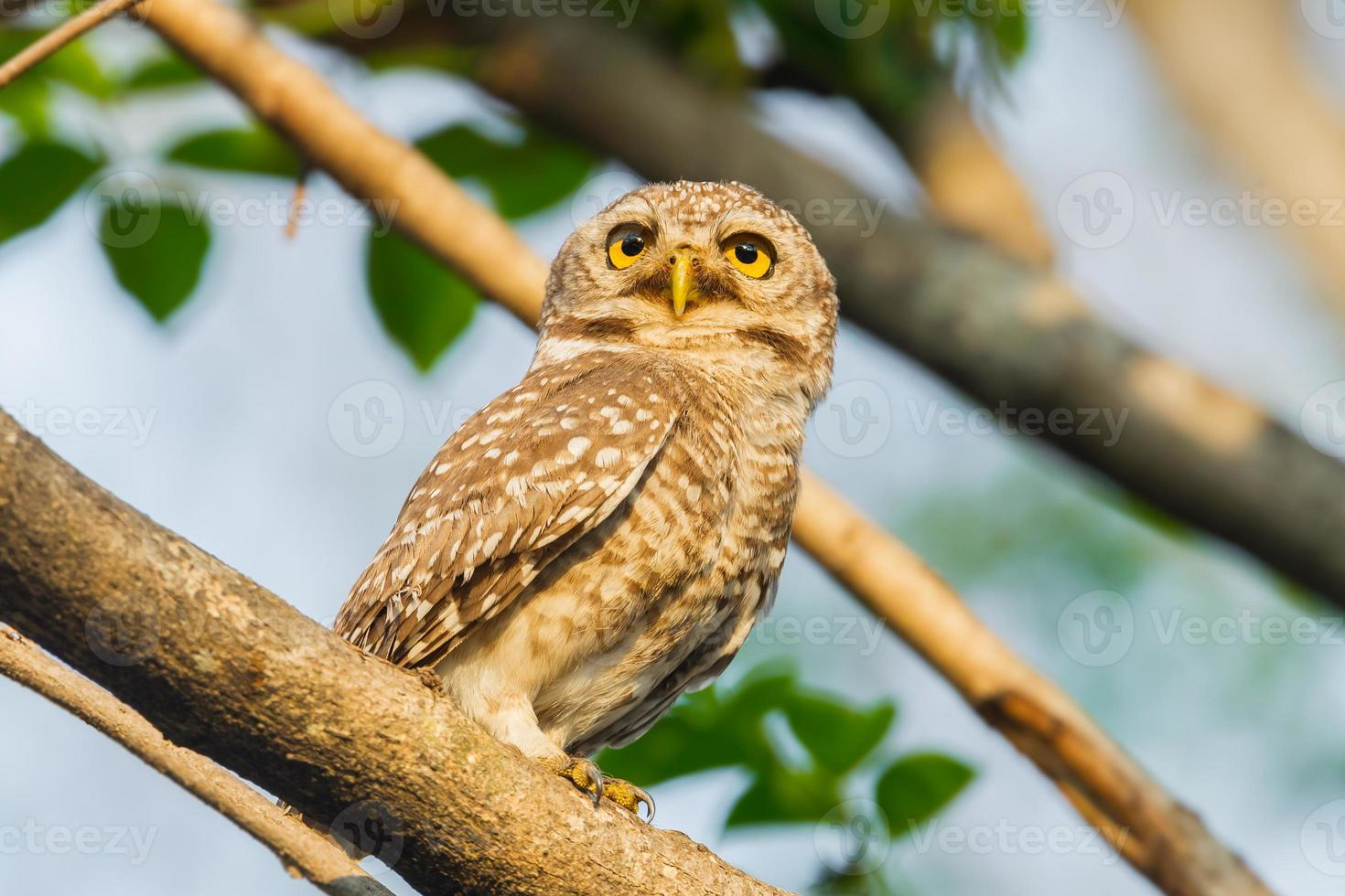 Spotted owlet photo